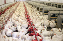 Abuja Farmland - broiler-chicken-farm