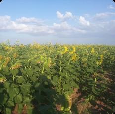 Agriculture Ethiopia Rixos Trading PLC