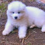 Samoyed Puppies Sale Nigeria