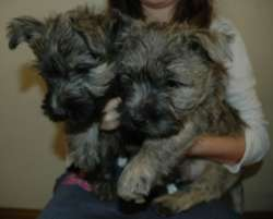 male and female cute Cairn Terrier puppies for sale - Afritrada