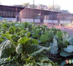 ICBH_FREE_RANGE_CHICKEN_FARMING