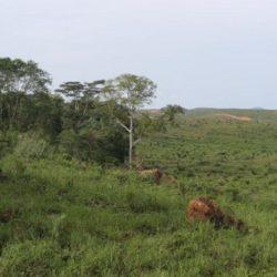 IBIAE plantation PZ wilmar