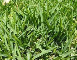 816362434_3_644x461_shade-tolerant-lawn-grass-zimbabwepemba-decor-garden-accesories