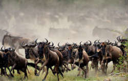 serengeti wildbeest migration safari