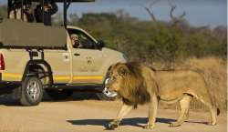 Kruger Wildlife Safaris lion 2