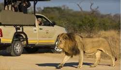 Kruger Wildlife Safaris lion 2